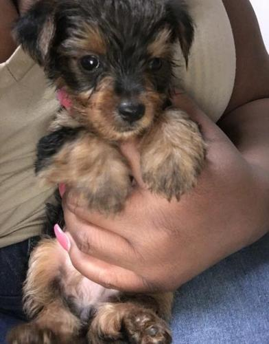 Yorkshire Terrier Puppy for Sale - Adoption, Rescue for Sale