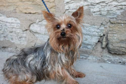 yorkshire terrier for sale mn yorkshire terrier yorkie ally email email removed for 3670