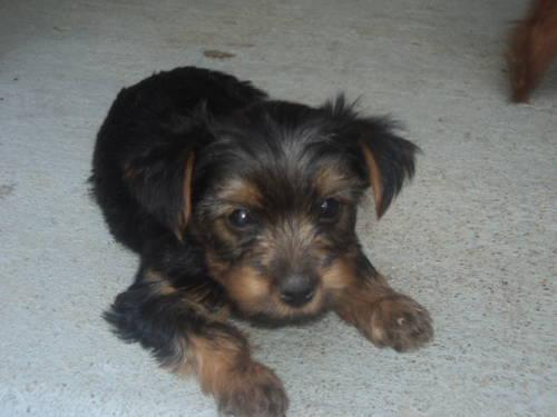Yorkshire Terrier Yorkie - Amelia - Small - Adult -: shelbyville-ky.americanlisted.com/40065/pets-animals/yorkshire...