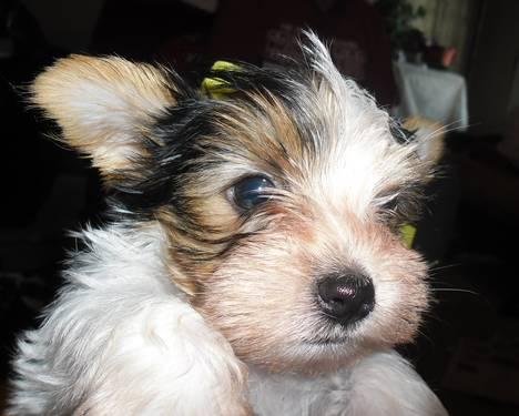 Yorkshire Terrier Yorkie - Bama - Small - Young - Male - Dog for Sale ...