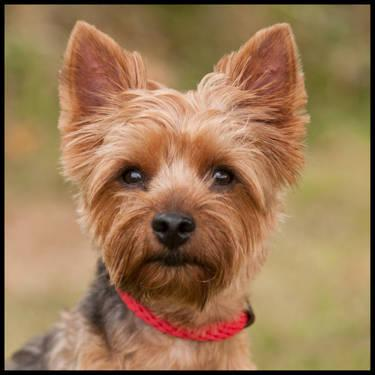 Yorkshire Terrier Yorkie Bella Small Adult Female Dog For