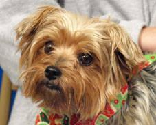 Yorkshire Terrier Yorkie Bitta Small Adult Female Dog For