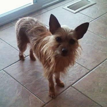 Adult spayed yorkies for sale picture