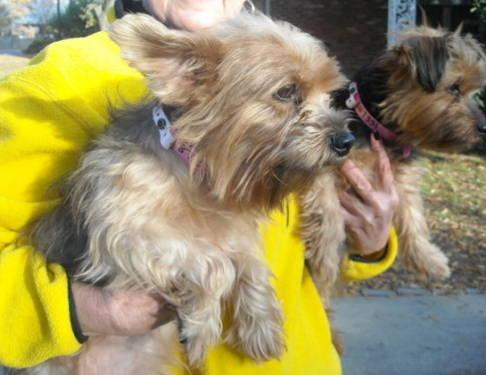 Yorkshire Terrier Yorkie Duchess Small Adult Female For Sale