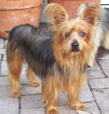 Yorkshire Terrier Yorkie - Holly - Small - Adult -: westpalmbeach.americanlisted.com/33408/pets-animals/yorkshire...