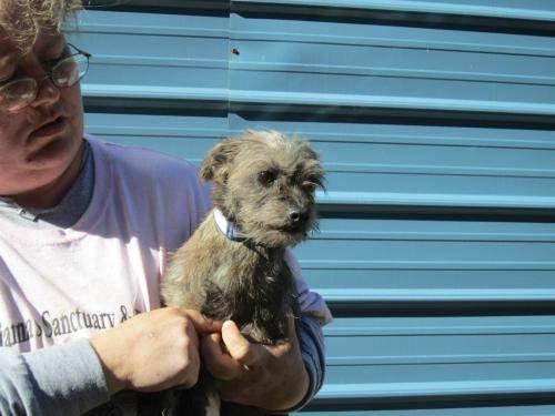 Yorkshire Terrier Yorkie - Kyra - Small - Senior -