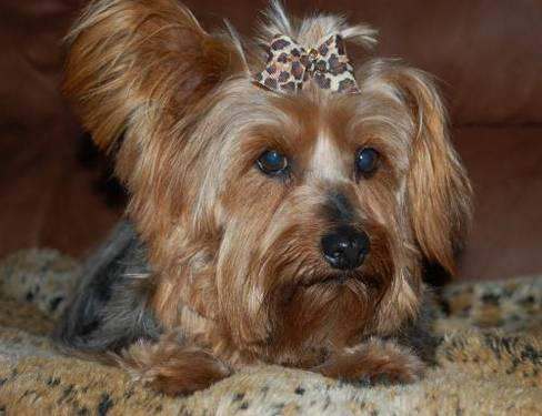 Yorkshire Terrier Yorkie - Lady Beth - Small - Adult - Female for Sale ...: oklahomacity.americanlisted.com/73132/pets-animals/yorkshire...