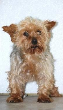 Yorkshire Terrier Yorkie - Libby - Small - Adult -: collins-mo.americanlisted.com/64738/pets-animals/yorkshire-terrier...