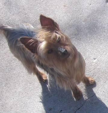 Yorkshire Terrier Yorkie Oscar Small Adult Male Dog For Sale In Springfield Missouri Classified Americanlisted Com