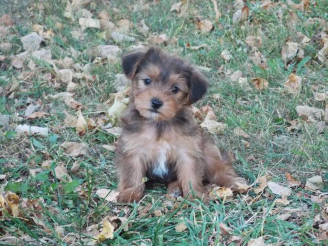 yorkshire terrier for sale mn yorkshire terrier yorkie puppies for sale in janesville 1104