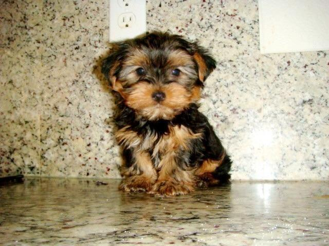 Yorkshire Terrier Yorkie Regular Toy Size 10 Weeks Old Everything