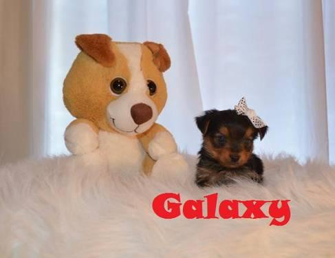 Yorkshire Terrier Yorkie - Sandi - Small - Adult -