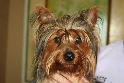 Yorkshire Terrier Yorkie - Sweetie - Small - Adult -