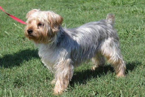 Yorkshire Terrier Yorkie - Teddy - Small - Adult - Male -7604