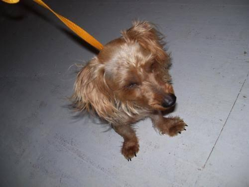 Yorkshire Terrier Yorkie Tramp Small Adult Male Dog For Sale In Knoxville Tennessee