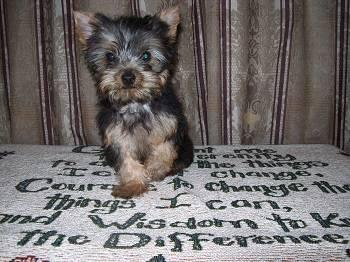 Adult spayed yorkies for sale picture 476