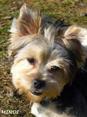 Adopt Female Yorkie Louisville Ky | Dog Breeds Picture