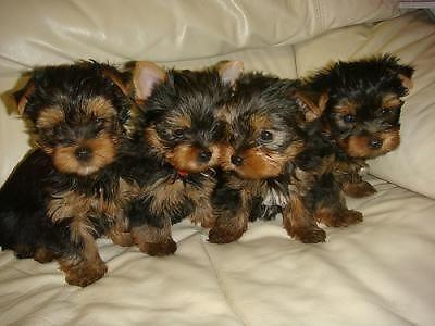 Parti Yorkie Puppies For Sale In Miami Florida Classifieds Buy