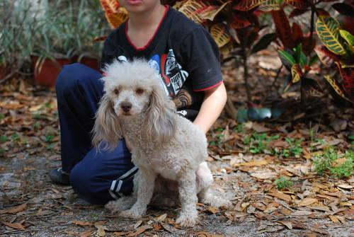 Young 2 yr old Poodle Female