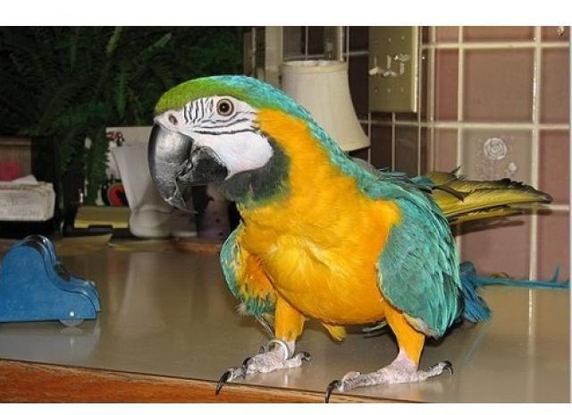 Young, Beautiful Blue & Gold Macaw For Sale