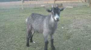 Young Female Pygmy Goats - $85 (Purvis/Hattiesburg)