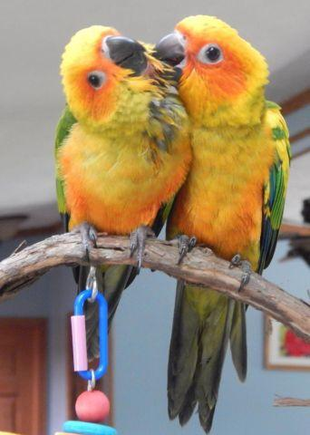 young male sun conures
