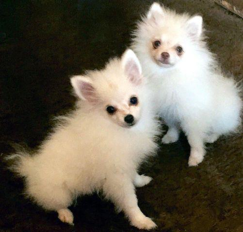 male pomeranian for sale young pomeranian male puppies for sale in winchester 5925