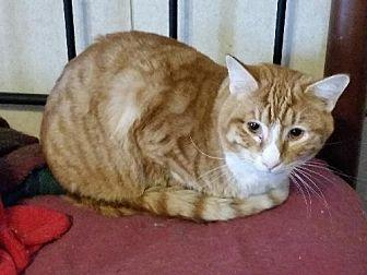 Yuengling Domestic Shorthair Adult Male