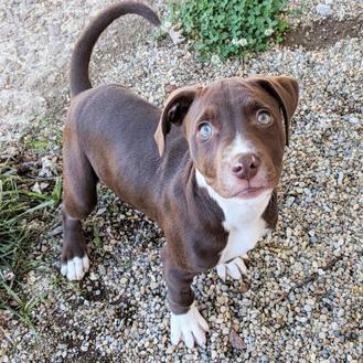 Zeke American Bulldog Puppy Male