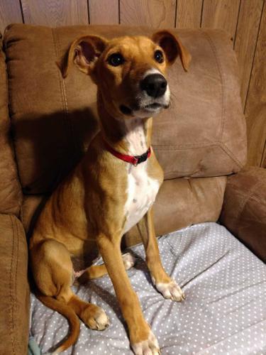 Salukis For Adoption - Goldenacresdogs com