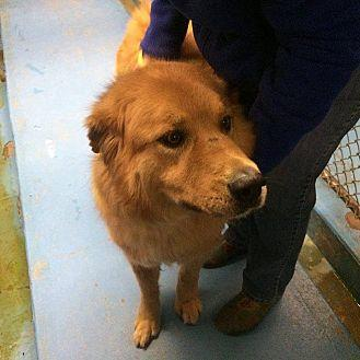 Zion Golden Retriever Adult Male