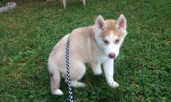 I have an 11 week old siberian husky that I have to rehome. I am moving and I cannot take her with me. She is light red and white and is great with other dogs and cats.