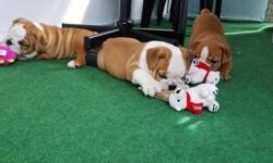 Hello, I need to a home my 13 weeks old English Bulldog puppy. He is absolutely gorgeous!! White with a brown saddle like marking on his back. He is wonderful with children of all ages. He is starving