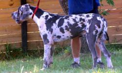 // ADULT MALE GREAT DANE for Sale //// -----AMAZING PEDIGREE ---- Color: Blue Harlequin Price: $1000 (LIMITED REGISTRATION) $1500 (FULL REGISTRATION) Price IS negotiable. IN TACT & UNALTERED BUT UNPRO