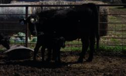 Very nice black 1st. calf heifers with calves on ths side is what I have for sale. They are sim/ang & ang/sim and bred to sim/ang & ang/sim. The calves are 6 to 9 weeks old. The heifers are meduim fra