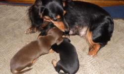Two beautiful male mini smooth Dachshund puppies looking for their Forever Homes. Born October 10, they are 25 days old today (November 4), and will be ready to go home with you when they are a full 8