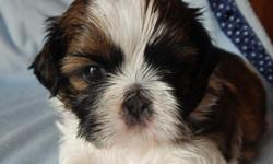 We have 2 beautiful male shih tzu puppies that will be ready for their forever homes November 30. They will come with limited AKC registration, dewormed, dew claws removed, and with their first set of