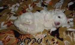 2 Cute Female Maltese puppies for sale. They are $400.00. They are 4 1/2 weeks old at this time 10-02-15. They will be ready for new home at 8 weeks of age or older. Date of birth is 08-31-15. We requ