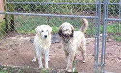 I have 2 dogs for sale. Female golden doodle, male english retriever. The golden doodle is 2 yrs old,not fixed. She is out of a PARTI poodle and golden retriever. She is 800.00. The male English golde