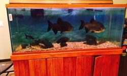 """We are selling our complete tank with stand, fish, wet/dry filter, additional filter, pumps, rocks, cleaning equipment, chemicals, food, etc. The fish included are two Pacus (18-22""""), a Green Te"""
