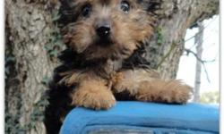 We have a little boy Yorkie that we are calling 3/4 Yorkie. His mother is a 3/4 yorkie and dad is a full blooded AKC Yorkie. He is carting to be around 5 1/2 to 6 pounds. he will have up to date shots