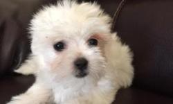 Our family is ready to sell our puppies. Total 4 Maltese are up for sale to a loving and caring home. They are all super cute, spunky, playful and adorable. They are pure white like a snowball! Pictur