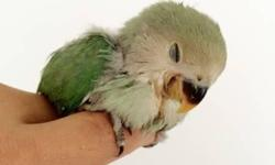 I have more healthy green peach faced baby lovebirds for sale of four weeks. Text me or call me. Not available on Fridays from 6pm until Saturday at 8pm. Thanks, Alex --- Tengo mas loritos agapornis b