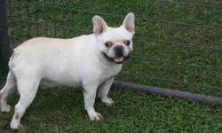I have a very nice AKC Male French Bulldog for sale. I have sold all of my females so now need to sell my male. He has been a proven dog for breeding, or would make excellent pet. He is very social an