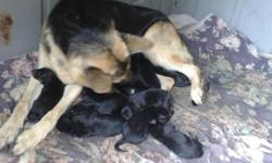 German shepard puppies for sale born on 10/7/15 i have males and female puppies the puppies dad is a black and red German shepard his dad is imported from Germany they have champion blood lines from G