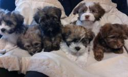 3 Males and 2 females left. Taking deposits now. Ready to go in the second week of November. We are a small family breeder. All our puppies are very socialized and love people. When our puppies leave