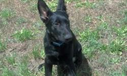 9 month old Akc male German Shepherd, pure black with a little tan on his legs. He is probably around 85-90lbs and still growing. He knows basic obedience sit, here, down. Loves to ride in the car, an