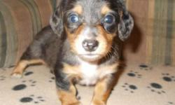 Three adorable male dachshunds that are looking for their forever homes. They will be 8 weeks on October 23, 2015.The first one is a long haired dapple with one blue eye, the second is a long haired d