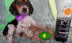 ACA registered Mini Pocket Beagle puppies. Only get 9.5 to 10.5 inches tall and 10-12 pounds grown size. The parents are 10 inch Pocket Beagles with purebred ACA registration. The puppies will come wi