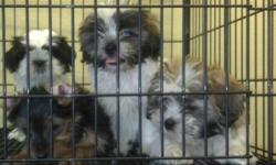 We have several adorable puppies for sale, all AKC registered pure breeds! Puppies are 8-10 weeks old.The Dogs we have are as follows : 1 Male Jack Russle Terrier 3 Imperial Shih tzu 2 male 1 female 1